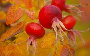 Макро: осень, шиповник, плоды, листья, макро