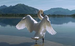 Животные: лебедь, птица, крылья, озеро, горы, природа