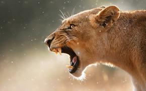 Животные: львица, морда, пасть, клыки