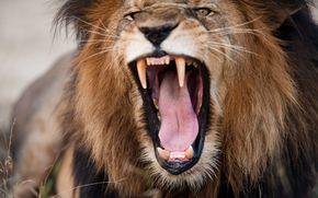 Животные: лев, царь зверей, морда, пасть, клыки, злюка
