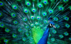Животные: павлин, веерный хвост, птица