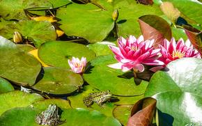 Природа: водяные лилии, водоём, лягушки, природа