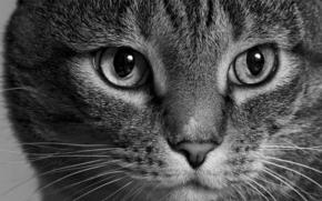 Животные: кот, кошка, морда, взгляд, монохром, чёрно-белая