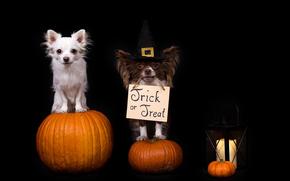 Праздники: Halloween, Хэллоуин, собаки, чихуахуа, тыквы, фонарь