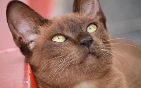 Животные: Бурманская кошка, бурма, мордочка