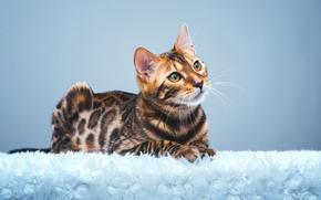 Животные: Бенгальская кошка, бенгал, взгляд