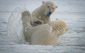 Животные: Arctic National Wildlife Refuge, Alaska, Национальный Арктический заповедник, Аляска, белые медведи, медведи, спарринг, брызги