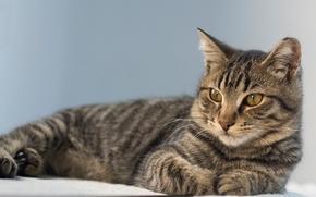 Животные: кот, кошка, взгляд, портрет