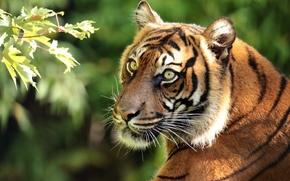 Животные: Суматранский тигр, тигр, хищник, морда, портрет, ветка