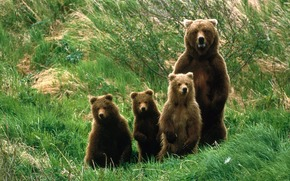 медведи, семья, природа обои, фото