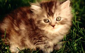 Отдам пушистых ангорских котят серых и полосатых.  Щёлкните для просмотра следующей фотографии.