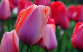тюльпани, краплі, квіти «