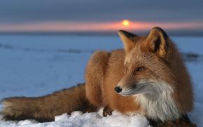 животные,  природа,  камчатка,  закат,  лиса обои, фото