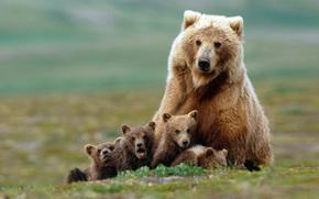 медведи,  медведица,  медвежата,  гризли,  семья обои, фото