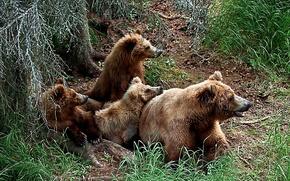 Семья,  бурых,  медведей обои, фото