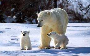 полярный,  медведь,  медвежата,  семья,  зима,  солнечно,  снег,  сверкает,  три,  медведя обои, фото