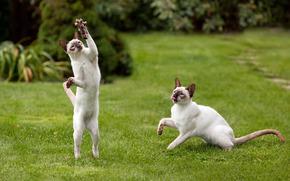 коты, когти, лапы, пара, играют, мышь, трава, газон, зелень обои, фото