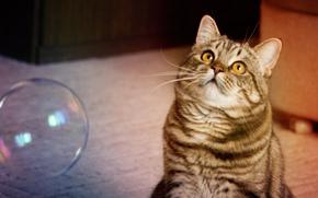 кот, мыльный пузырь, играет обои, фото