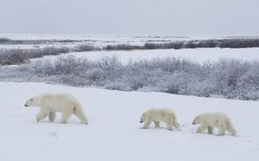 белые медведи, семья, мама и дети, polar bears обои, фото