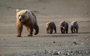 медведи, мишки, мокрые, берег, семья обои, фото