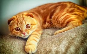 кот, портрет, лапа, играет, рыжий, скоттиш фолд, взгляд обои, фото