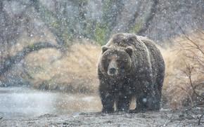 медведь, снег, Камчатка обои, фото