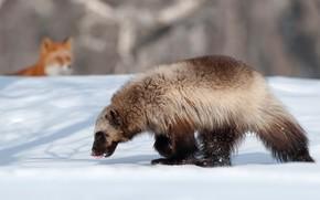 животные, камчатка, росомаха, лиса, зима, снег обои, фото