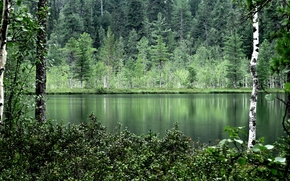 forest, trees, Birch, summer, water, nature, reflection