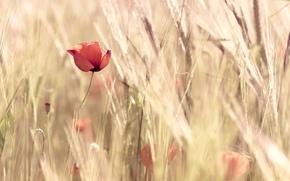 красный, колосья, широкоформатные, цветы, мак, пшеница, обои, природа, цветочек, полноэкранные, широкоэкранные, поле, цветочки, фон
