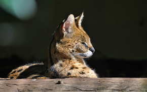 морда, хищник, дикая кошка, профиль, сервал
