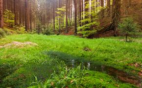 лес, деревья, болото, природа