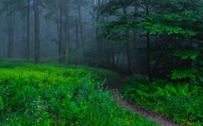 лес, деревья, тропинка, природа, туман