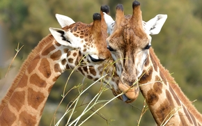 girafe, animale, dragoste