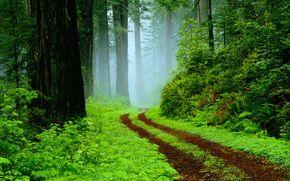 floresta, estrada, árvores, nevoeiro, natureza