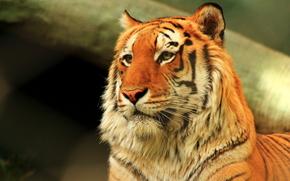 tigre, depredador, animal