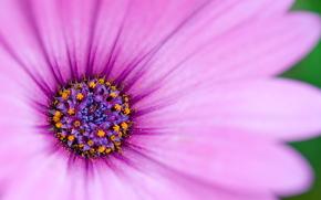 рожевий, ніжний, пелюстки, сердцевідка «