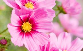 квіти, квітка, рожевий, макро, літо «