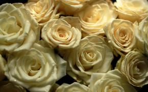 троянди, квіти, букет, 918727 «