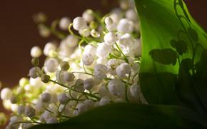 конвалії, листя, свіжість, весна, квіти «